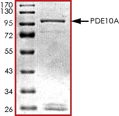 SDS-PAGE - Recombinant human PDE10A protein (ab101116)