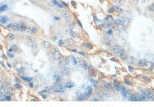 Immunohistochemistry (Formalin/PFA-fixed paraffin-embedded sections) - Anti-ACAD11 antibody (ab101142)