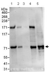 Western blot - Anti-Influenza Virus NS1A Binding Protein antibody (ab101278)