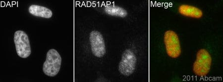 Immunocytochemistry/ Immunofluorescence - Anti-RAD51AP1 antibody (ab101321)