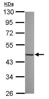 Western blot - Anti-NFIX/CTF antibody (ab101341)