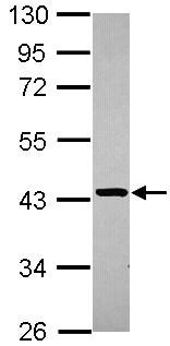 Western blot - Anti-STBD1 antibody (ab101344)