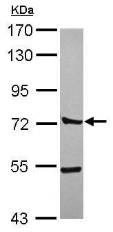 Western blot - Anti-CTTNBP2NL antibody (ab101359)