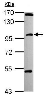 Western blot - Anti-C18orf34 antibody (ab101363)