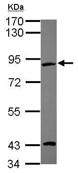 Western blot - Anti-EFHC2 antibody (ab101365)