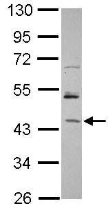 Western blot - Anti-SPF45 antibody (ab101441)