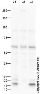 Western blot - Anti-USP3 antibody (ab101473)