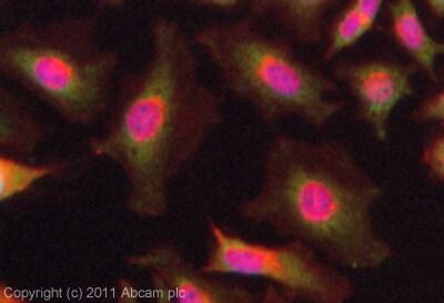 Immunocytochemistry/ Immunofluorescence - Anti-MMS2 antibody (ab101475)
