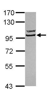 Western blot - Anti-SG2NA antibody (ab101515)