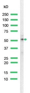 Western blot - Anti-Cytokeratin 18 antibody [SP69], prediluted (ab101542)