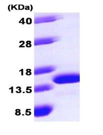 SDS-PAGE - Recombinant Human LAMTOR2 protein (ab101637)