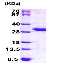 SDS-PAGE - Recombinant Human PREI3 protein (ab101639)