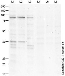 Western blot - Anti-USP26 antibody (ab101650)