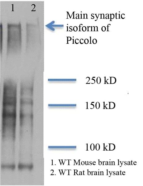 Western blot - Anti-Piccolo antibody [6H9-B6] (ab101654)