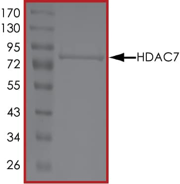 SDS-PAGE - Recombinant human HDAC7 protein (ab101660)