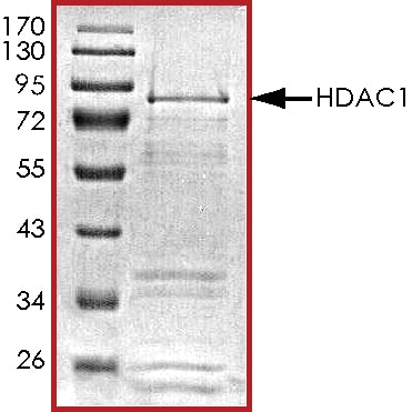 SDS-PAGE - Recombinant human HDAC1 protein (ab101661)