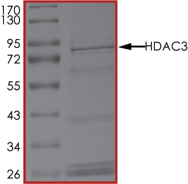 SDS-PAGE - Recombinant human HDAC3 protein (ab101663)