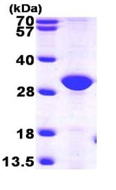 SDS-PAGE - Recombinant Human ERP27 protein (ab101664)