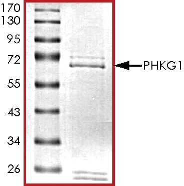 SDS-PAGE - Recombinant human PHKG1 protein (ab101715)