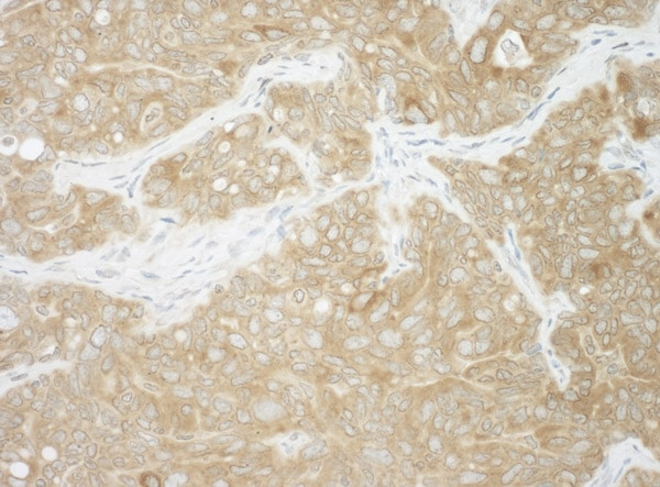 Immunohistochemistry (Formalin/PFA-fixed paraffin-embedded sections) - Anti-Ancient ubiquitous protein 1 antibody (ab101984)