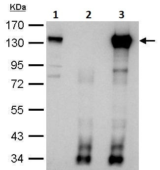 Immunoprecipitation - Anti-CDKN1A interacting zinc finger protein 1/CIZ1 antibody (ab102013)
