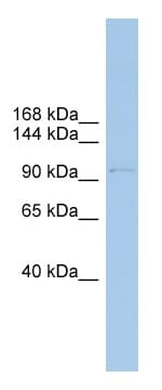 Western blot - Anti-COPG antibody (ab102044)