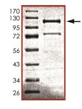 SDS-PAGE - Recombinant mouse CD45 protein (ab102105)