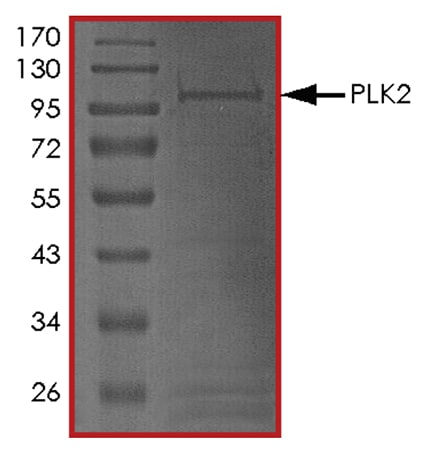 SDS-PAGE - Recombinant human PLK2 protein (ab102108)