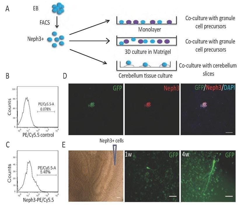 Flow Cytometry - PE/Cy5.5 Conjugation Kit- Lightning-Link(ab102899)
