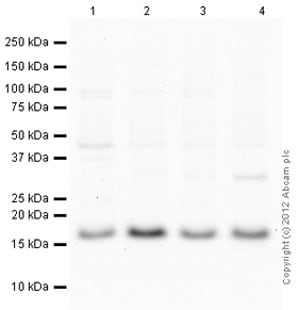 Western blot - Anti-Ube2N / Ubc13 antibody (ab103019)