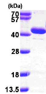 SDS-PAGE - Recombinant Human BPNT1 protein (ab103057)