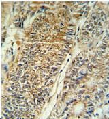 Immunohistochemistry (Formalin/PFA-fixed paraffin-embedded sections) - Anti-PYCR1 antibody (ab103314)