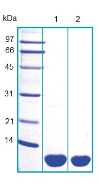 SDS-PAGE - Recombinant Human S100A12/CGRP protein (ab103393)