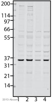 Western blot - Anti-PYCR2 antibody (ab103535)