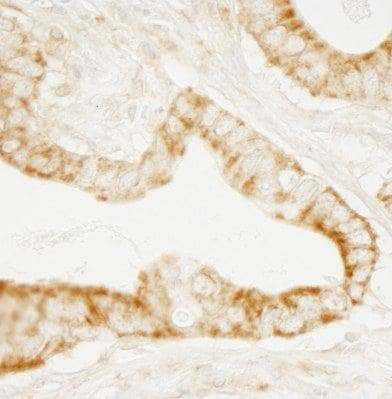 Immunohistochemistry (Formalin/PFA-fixed paraffin-embedded sections) - Anti-GEF H1 antibody (ab103558)
