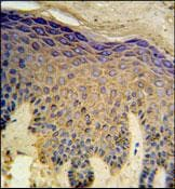 Immunohistochemistry (Formalin/PFA-fixed paraffin-embedded sections) - Anti-HAUS4 antibody (ab103709)