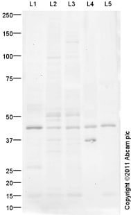Western blot - Anti-APOBEC4 antibody (ab103737)