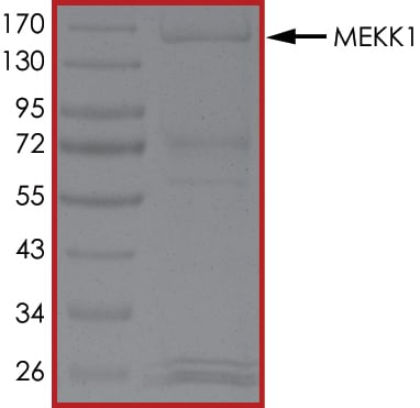 SDS-PAGE - Recombinant human MAP3K1 protein (ab104027)