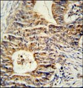 Immunohistochemistry (Formalin/PFA-fixed paraffin-embedded sections) - Anti-KLHL24 antibody (ab104089)