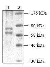SDS-PAGE - Recombinant human HDAC1 protein (ab104121)