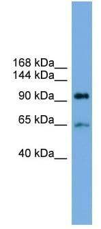Western blot - Anti-Sec15 antibody (ab104200)