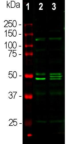 Western blot - Anti-NeuN antibody - Neuronal Marker (ab104225)