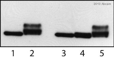 Western blot - Anti-Rad53 antibody (ab104232)