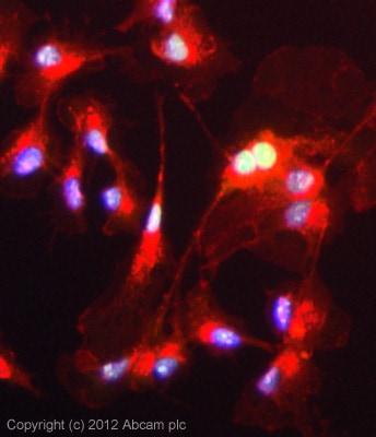 Immunocytochemistry/ Immunofluorescence - Anti-PSPC1 antibody (ab104238)
