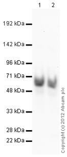 Western blot - Anti-PSPC1 antibody (ab104238)