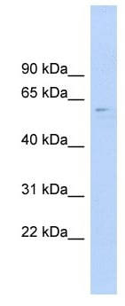 Western blot - Anti-CLK4 antibody (ab104321)