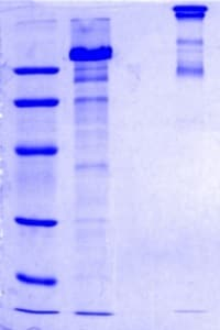 SDS-PAGE - Recombinant Human COMP/Cartilage oligomeric matrix protein (ab104358)