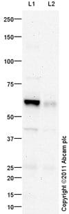 Western blot - Anti-Chromogranin C/SGII antibody (ab104367)