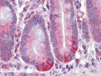Immunohistochemistry (Formalin/PFA-fixed paraffin-embedded sections) - Anti-RELM beta antibody (ab104542)
