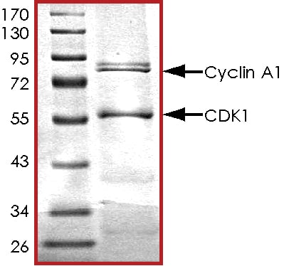 SDS-PAGE - Recombinant human CDK1 + Cyclin-A1 protein (ab104617)